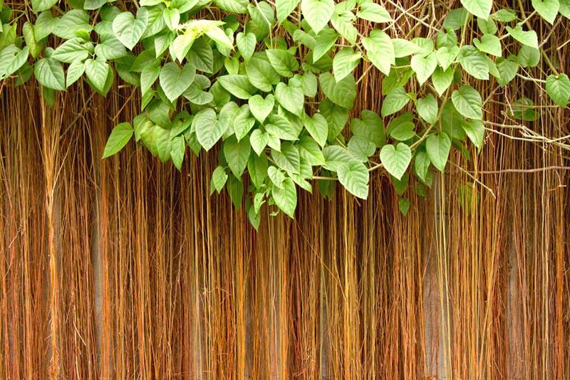 วิธีปลูกม่านบาหลี ไม้เลื้อยจัดสวน สำหรับทำซุ้มบังแดด